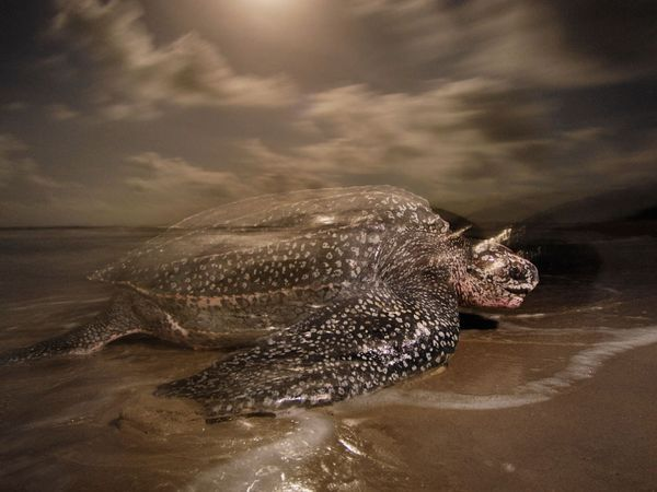rhamphotheca:  Leatherback Sea Turtle (Dermochelys coriacea) by National Geo staff Leatherbacks are the largest turtles on Earth, growing up to 7 ft (2 m) long and exceeding 2,000 lbs (900 kg). These reptilian relics are the only remaining representatives of a family of turtles that traces its evolutionary roots back more than 100 million years. Once prevalent in every ocean except the Arctic and Antarctic, the leatherback population is rapidly declining in many parts of the world.  While all other sea turtles have hard, bony shells, the inky-blue carapace of the leatherback is somewhat flexible and almost rubbery to the touch. Ridges along the carapace help give it a more hydrodynamic structure. Leatherbacks can dive to depths of 4,200 ft (1,280 m)—deeper than any other turtle—and can stay down for up to 85 minutes. Leatherbacks have the widest global distribution of all reptile species, and possibly of any vertebrate. They can be found in the tropic and temperate waters of the Atlantic, Pacific, and Indian Oceans, as well as the Mediterranean Sea. Adult leatherbacks also traverse as far north as Canada and Norway and as far south as New Zealand and South America. Unlike their reptilian relatives, leatherbacks are able to maintain warm body temperatures in cold water by using a unique set of adaptations that allows them to both generate and retain body heat. These adaptations include large body size, changes in swimming activity and blood flow, and a thick layer of fat (click here)… (read more: National Geo)     (photo: Brian Skerry)