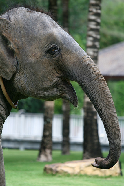 kingdom-of-animals:  Rara the Elephant, Krabi by MagicHourRay on Flickr.  Say Aaaahhhhh :)