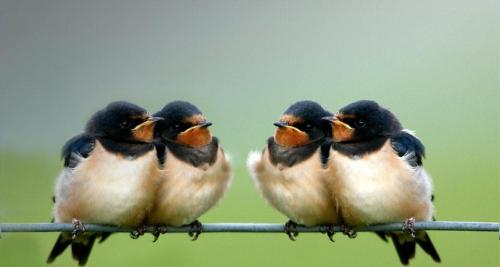 petitcabinetdecuriosites:  (via Bing Images - Barn Swallow)  While my three-year-old iPhone is sitting in a technician's shop, I'm using the HTC Mozart WP7 for a bit. One thing I enjoy about Windows Phone 7, the Bing search brings fresh mobile-sized cuteness everyday.