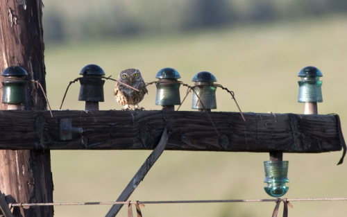 An owl doing an impression of a ceramic insulator atop a telegraph pole.