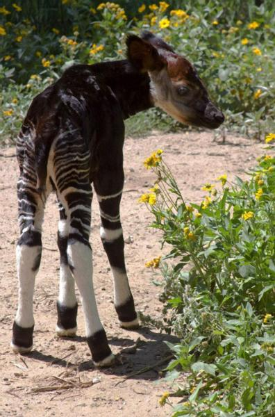 llbwwb:  Okapi Calf born 27 June at the Denver Zoo, Colorado. (Okapi are the closest living relatives of the giraffe.) Photo provided by Denver Zoo publicity.
