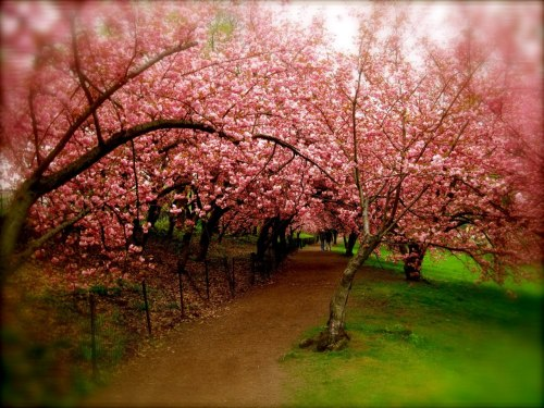 photo:  cherry trees in riverside park by ana traina (2011)  Spring  by Edna St. Vincent Millay To what purpose, April, do you return again? Beauty is not enough. You can no longer quiet me with the redness Of little leaves opening stickily. I know what I know. The sun is hot on my neck as I observe The spikes of the crocus The smell of the earth is good. It is apparent that there is no death. But what does that signify? Not only under ground are the brains of men Eaten by maggots. Life in itself is nothing. An empty cup, a flight of uncarpeted stairs. It is not enough that yearly, down this hill, April Comes like an idiot, babbling and strewing flowers.