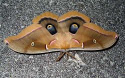 Certain moths have an extra sense most don't know about. It's an olfactory sensitivity that is almost considered supernatural. They have the ability to detect a single molecule of female sex hormones from miles away. These molecules are called pheromones. Males in the Saturniid, Bombycid, and Lasiocampid families have large, feathery antennae with a broad shape. This shape allows air to come in contact with them quite frequently, in turn allowing the hair-like olfactory receptors, which group together on the antennae in great quantities, to detect even the slightest of these chemical stimuli. Female moths are perfectly aware of this talent, and emit an odor that has been known to call males from up to 11 km (about 7 mi) away. Just imagine trying to detect one molecule of scent from one cubic yard of air. That's virtually undetectable for humans, yet up to 100 male moths can not only smell it, but lead themselves to the source of it.  Photo credit: smccann