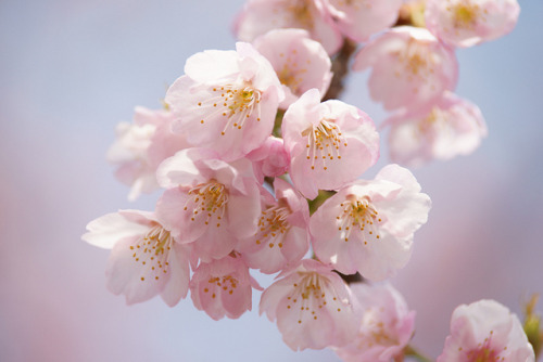 ileftmyheartintokyo:  Cherry Blossom by peaceful-jp-scenery on Flickr.