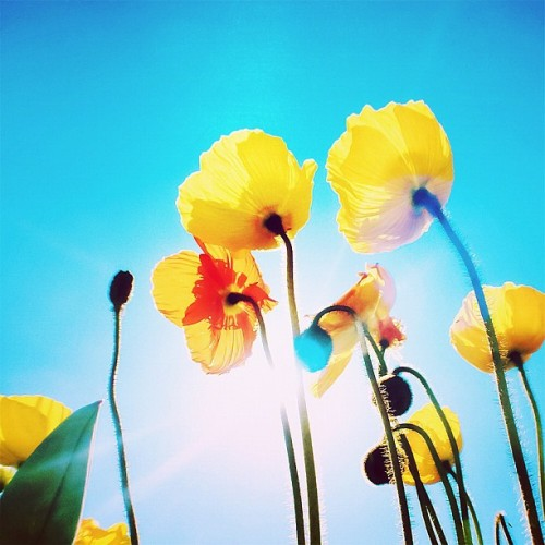 ponhouse:  #flower#poppy#sky#sun#iPhone#2012 (Instagramで撮影)