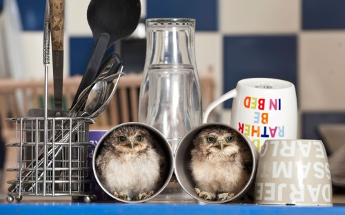 theanimalblog:  (via Telegraph) Two orphaned baby burrowing owls, nicknamed Linford and Christie, have moved into the home of their keeper Jimmy Robinson. The owlets were hatched in an incubator at Longleat Safari Park, Wiltshire, and are now being hand-reared by Jimmy. The native American birds, which get their name from living in small burrows in the wild, can find plenty of nooks and crannys about his flat to hide. Tea cups and bookcases are a particular favourite, says Jimmy, but it's good to see them developing their natural behaviour and they always seem to find me at meal times.