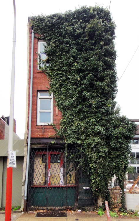 Quickie: Half-covered with ivy, Northern Liberties, North Philly.
