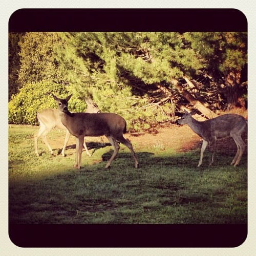 Just getting' my daily dose of deer 😊 #deer #animals #forestlife #ucsc  (Taken with instagram)