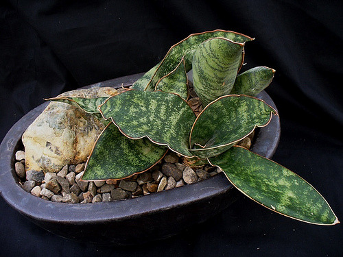Sansevieria sp. Hansotti Farm, a photo by u4banut on Flickr. (via Succulent Plant Information: Sansevieria sp. Hansotti Farm)