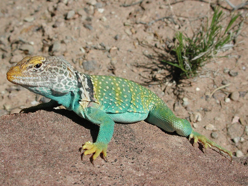 lizardsenjoyinglife:  this lizard is enjoying the sun.  I am enjoying how pretty this lizard is.