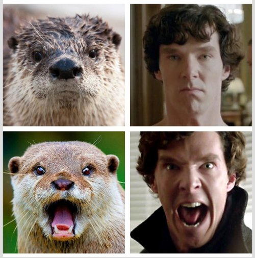 Otters Who Look Like Benedict Cumberbatch   How can we be sure it's not the otter way around?