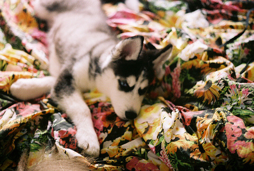 xeveryonesbeautifulx:  aww. :)  We pick up our husky puppy in exactly one week (this isnt him, just a very cute pup.) This is fair warning that I plan to take an obscene amount of pictures of him, and I'm sure a fair number of them will end up on here. I'm beyond excited!