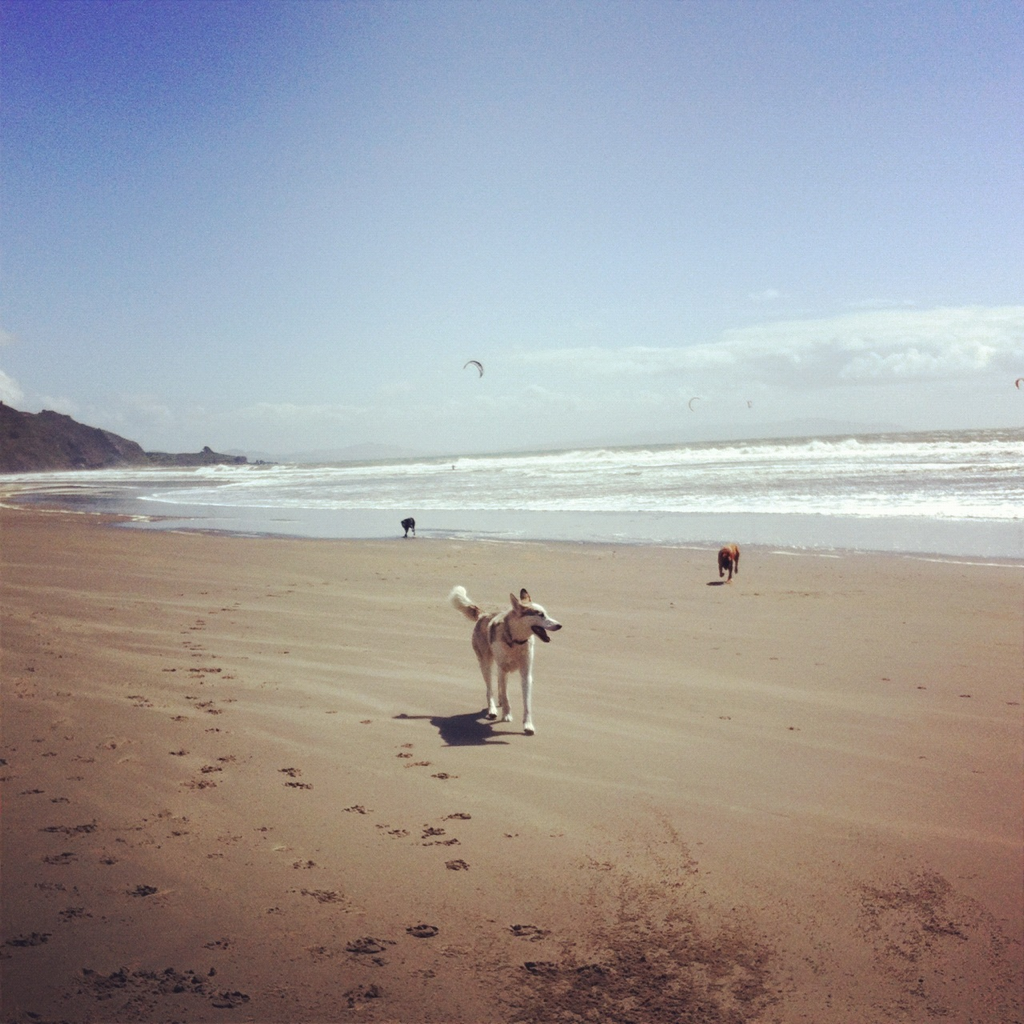 Stinson Beach, Marin County, CA.  Boundless #off-leash fun in the sun.  Spirit leads new friends down the #beach while kite surfers give a good show in the waves.  Half of the beach allows #dogs, the other does not, so be sure to head for the northern end.