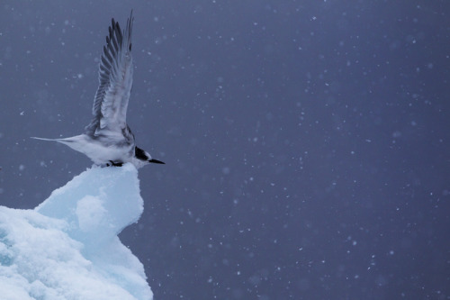 Antarctic Tern - Wilhelmina Bay Antarctica is beautiful!