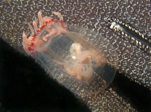 Jellyfish found on a beach dive at Point Dume, Malibu, California Brought to you by Underwater Photography Guide, the best online resource for divers and underwater photographers.