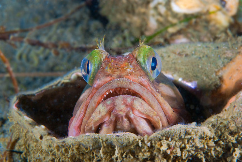 Sarcastic fringehead, found on a beach dive in Redondo Beach, California Brought to you by Underwater Photography Guide, the best online resource for divers and underwater photographers.