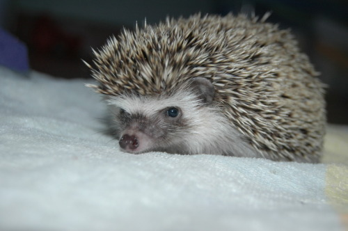 "From Logan: ""This is Mr. Prickles. He's 12 weeks and he was born in Costa Rica and is living in Nicaragua!"""