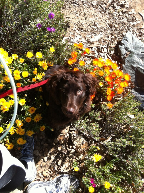 Boo playing on our walk today in the flowers, spring has sprung!