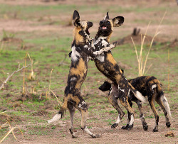 funkysafari:  Typical behaviour of African Wild Dogs after they wake up.by Wild Dogger