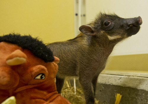 Animal Kingdom's newest warthog piglet. I might die of cute overload.