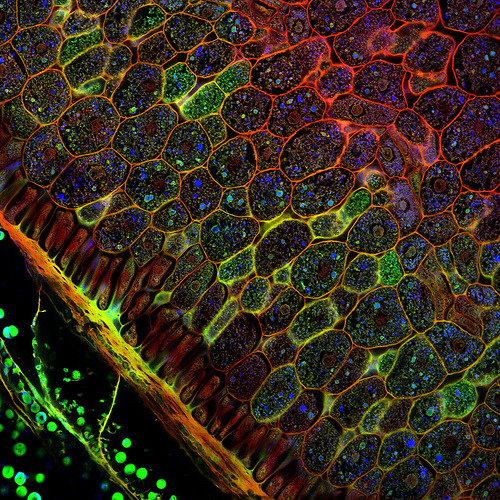 endless-ecdysis:  mapmeoblivion:  Confocal microscopy of plant tissues (by Fernan Federici)  So beautiful