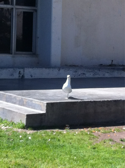 anuujin:  Here's a picture of a one legged seagull that was staring me down like I stole its leg