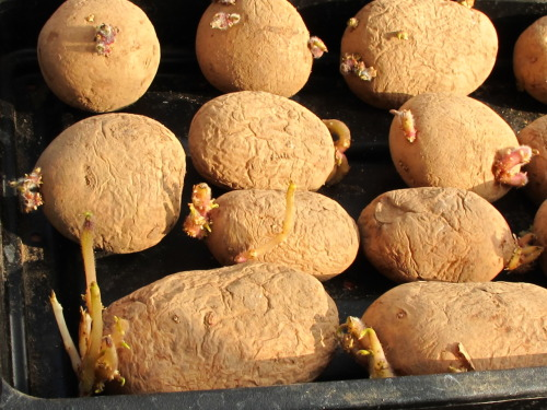 Bit late but potatoes chitting (Pentland Javelin)