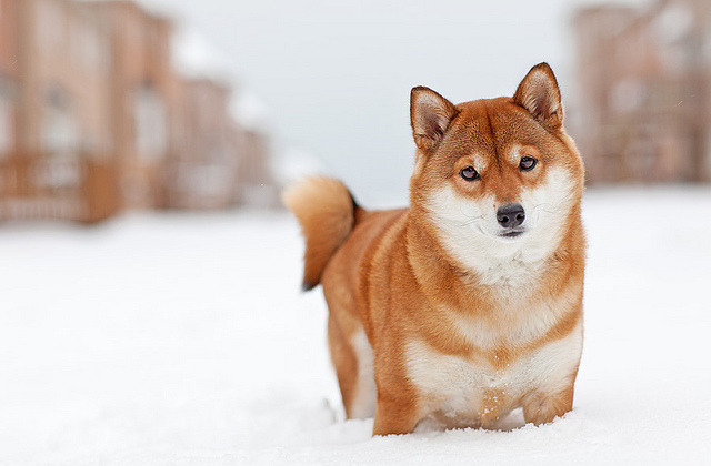 fefagriffin:  jumpintoforever:  Shiba Inu by Andrew_Maidanik  One of my dream dogs. since I saw one on nintendogs and… *got shot*