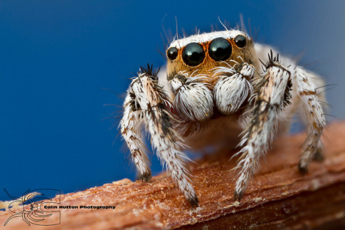 Habronattus signatus by Colin Hutton Photography on Flickr.It kind of is cute in its own way.