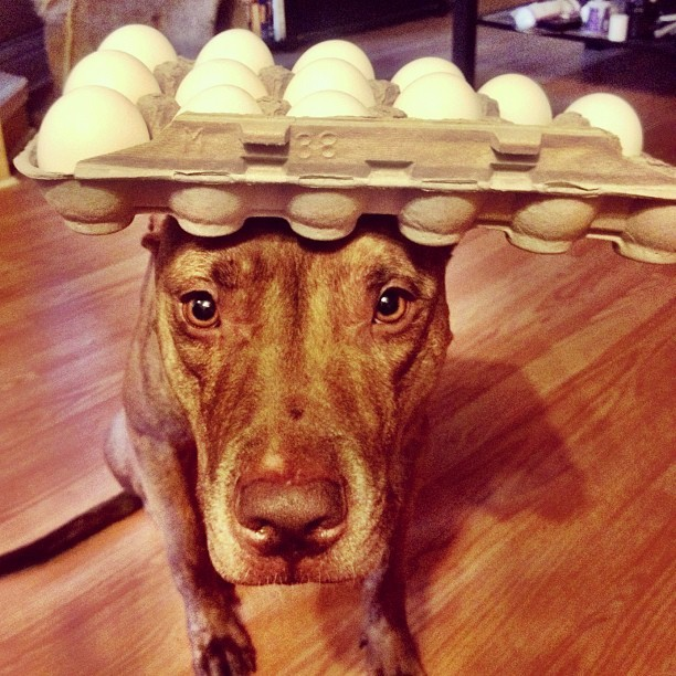 stuffonscoutshead:  #stuffonscoutshead - 13 eggs #foodporn #rednose #pitbull #pitsofig (Taken with instagram)