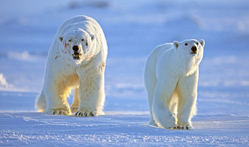onearth:  In which we recap the great Discovery/BBC series Frozen Planet as if it's an episode of Gossip Girl or American Idol:  Frozen Planet, Part 1: Love Hurts  This is fantastic! Like the epic Gossip Girl recaps of the past but with polar bears and penguins. We love. Gracias! For more Frozen Planet videos, go here, too.