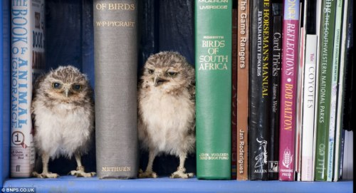 robynsmorgue:  (via Orphaned baby owls Linford and Christie have a hoot in their new home | Mail Online)