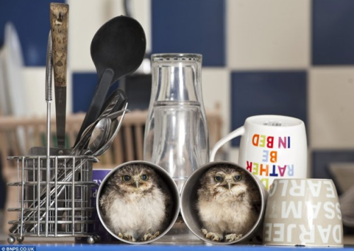fat-birds:  Orphaned baby owls Linford and Christie curl up in tea cups in the home of their adoptive parent, Jimmy Robinson. (Photo courtesy of bnps.co.uk) Mod: I CAN'T  HNNNGGGG!!!!!