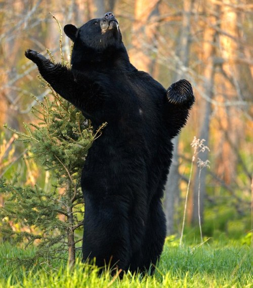 fleshcircus:  wheresmyyoshi:  Shakesbear  yes  lol shakesbear… good one!