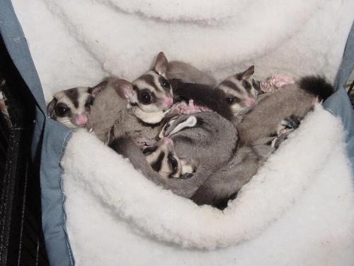 hello-raxella:  For more adorable pictures of Sugar Gliders click HERE!