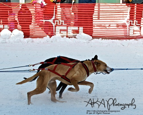2012 Open North American Championship Dog Sled Race Yearly dog sled race that starts in downtown Fairbanks, AK.