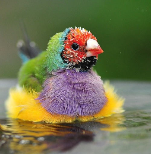 magicalnaturetour:   Bath Time by Joe McBroom :)   I think I have found my spirit animal. *w*