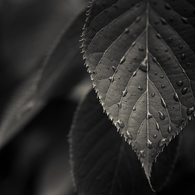 reblogging cubagallery:  Via Flickr: Black & White Leaves