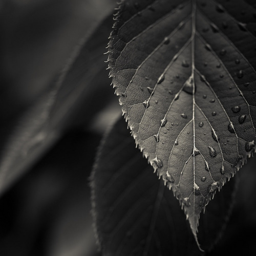 Via Flickr: Black & White Leaves