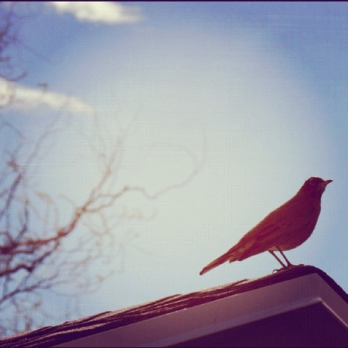 #bird #building #roof #house #blue #sky #tree #focus #black #feathers #wings #wing #beautiful #spring #day #bright #instagood #instagram #instamood  (Taken with instagram)