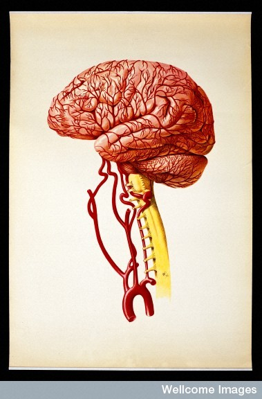 Brain: lateral view. Colour lithograph by Brocades Great Britain Ltd. Find and use this image on Wellcome Images.