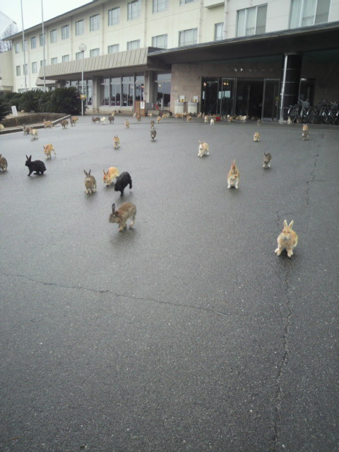blo:   Rabbits in Okunoshima. On this island, rabbits live in 200~300. they are feral. But they are immune to human, so if you make a rasping sound by plastic bag of feed, they will come running up to here. This picture was taken at Hotel in Okunoshima.    what
