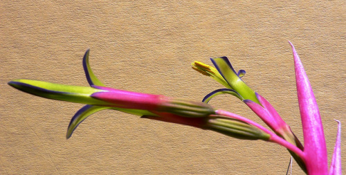 Billbergia nutans - 32 by Luiz Filipe Varella on Flickr.