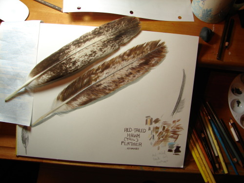 katewadsworth:  Hmmmmmmmm……. Worked out a hawk feather study for scientific illustration. Colored pencil and gouache.