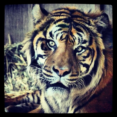 Sumatran tiger, male - yes, personal photo (Taken with instagram)