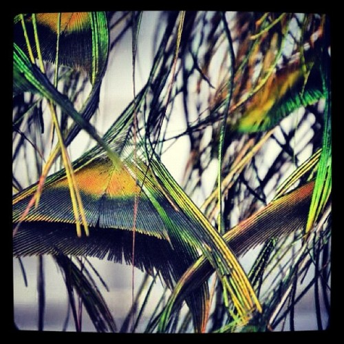 The tip of peacock feathers - another personal photo (Taken with instagram)