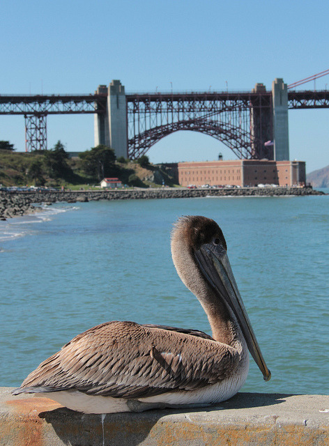 nickhata:  Pelican and Golden Gate Bridge Arch on Flickr.