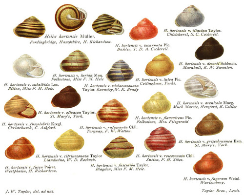 "rhamphotheca:  Variations of the Garden Banded Snail (Cepaea hortensis) * aka ""White-lipped Snail"" from Monograph of the land and freshwater Mollusca of the British Isles. Vol. 1 - 3, by J.W. Taylor (1894-1914)"