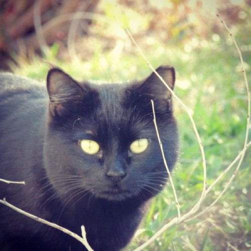#black #cat #green #grass #eyes #fur #animal #light #yard #twig #branch #feline  (Taken with instagram)