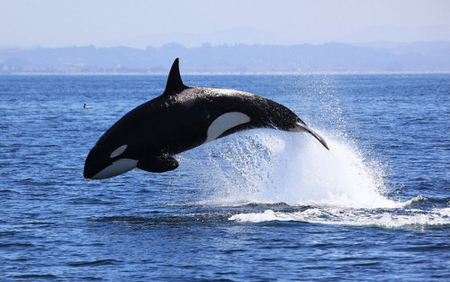 thelovelyseas:  Killer Whale Breach by toryjk on Flickr.  perfect jump, cutie! and this is also a perfect shot!! <3